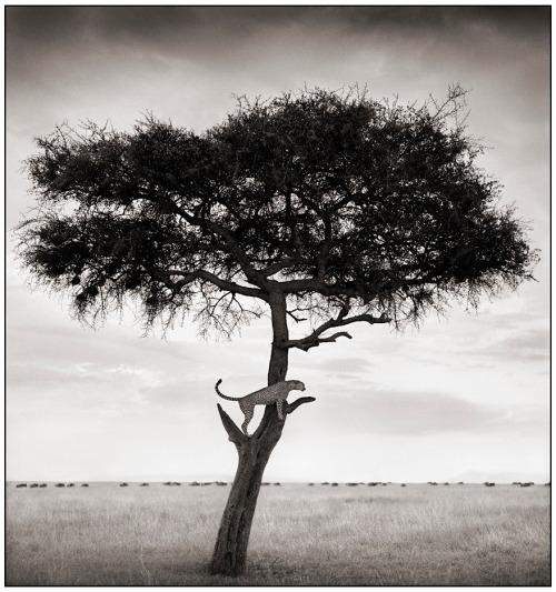 N89200812534856cheetah_in_tree