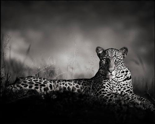 Nleopard_staring_atlas