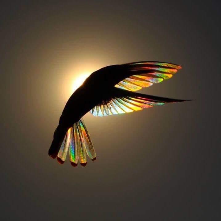 mesange arc en ciel